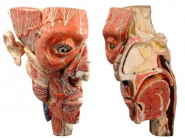 Auzoux Anatomical Model of the face