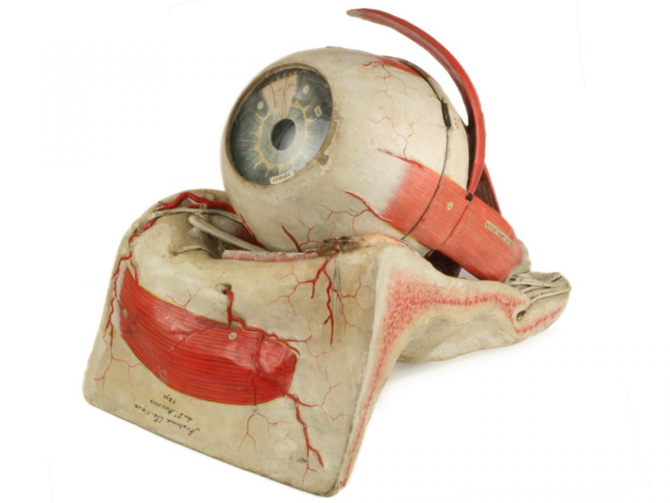 Anatomical Model Eye by Dr Auzoux - Phisick | Medical Antiques