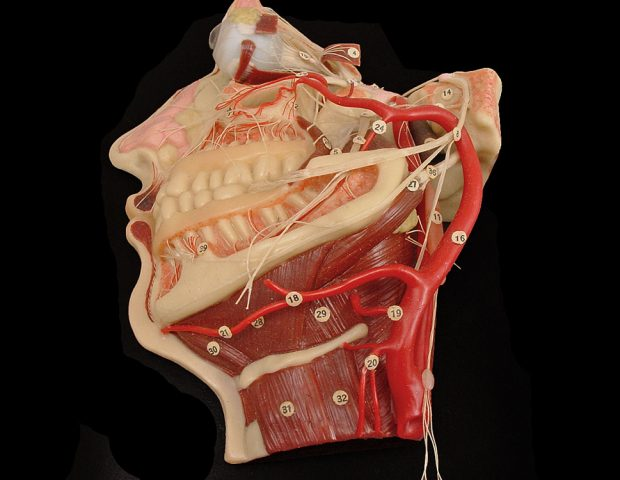 Wax Anatomical Model Of Head And Neck Phisick Medical Antiques